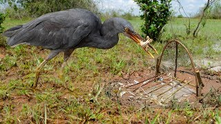 Bird Trap Technology - Best Bird Trap With CAR (Catch And Release) part 1