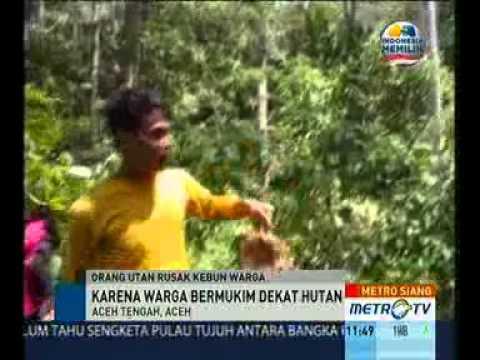 Gerombolan Orangutan Rusak Kebun Durian