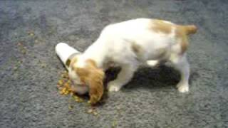 English Springer Spaniel Puppy # 11  Lemon & White