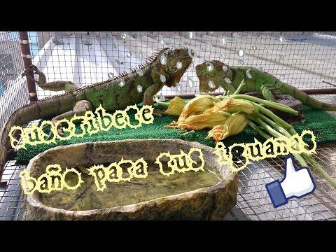 Baño para iguanas - Blacky Blog ¿Como baño a mi iguana?