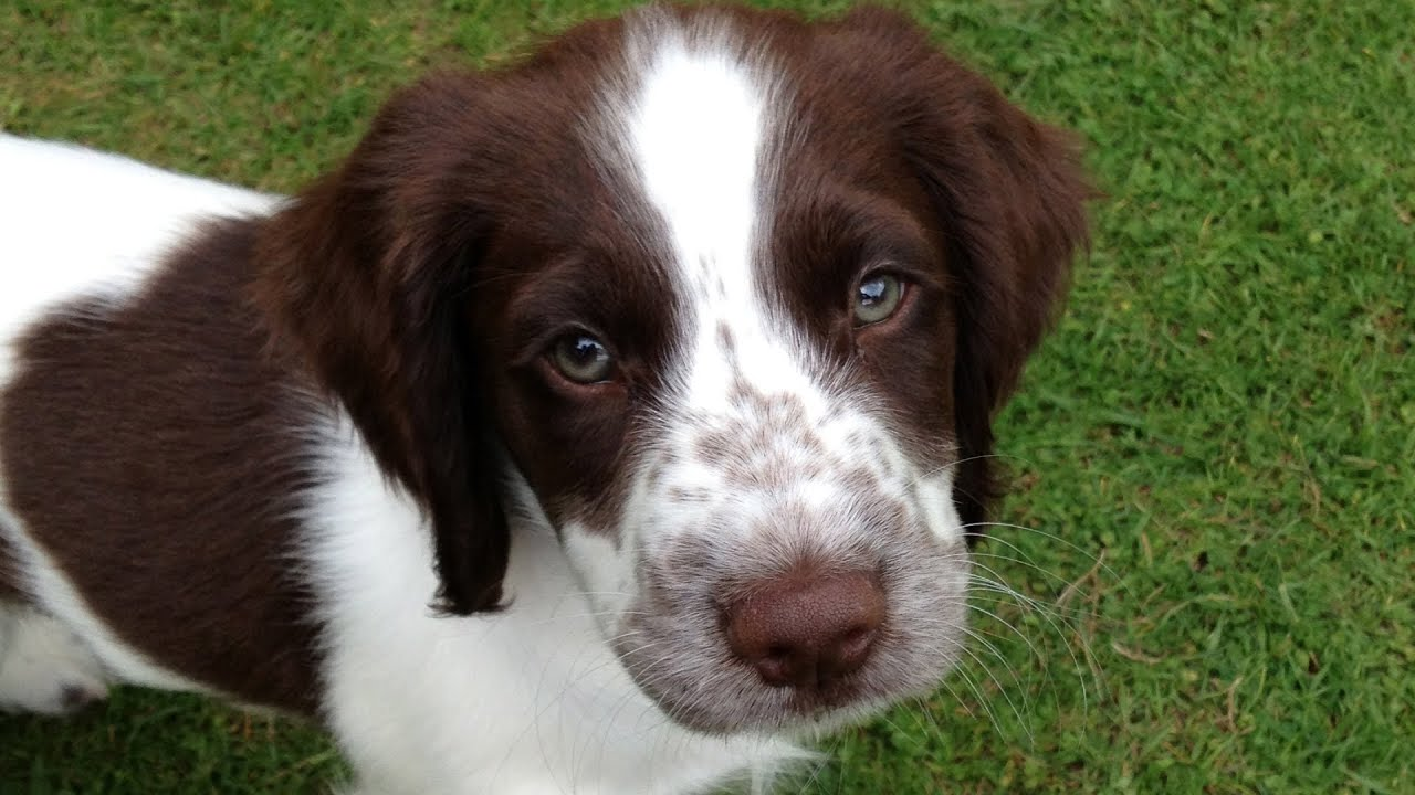 English Springer Spaniel Puppy Chewing! - YouTube