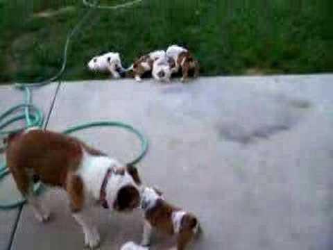 English Bulldog puppies take on Mom