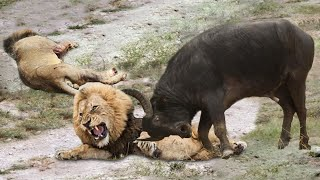 EXTREMELY RARE!!! Buffalo Herd Rescue Baby From Male Lion Hunt, 7 Lions vs 100 Buffalo