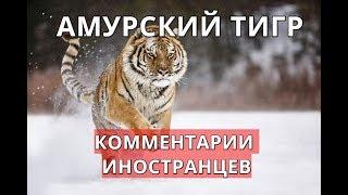 Амурский тигр. Комментарии иностранцев.