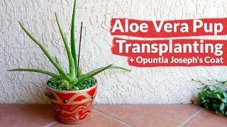 Aloe Vera Pup Transplanting + my new Opuntia Joseph's Coat