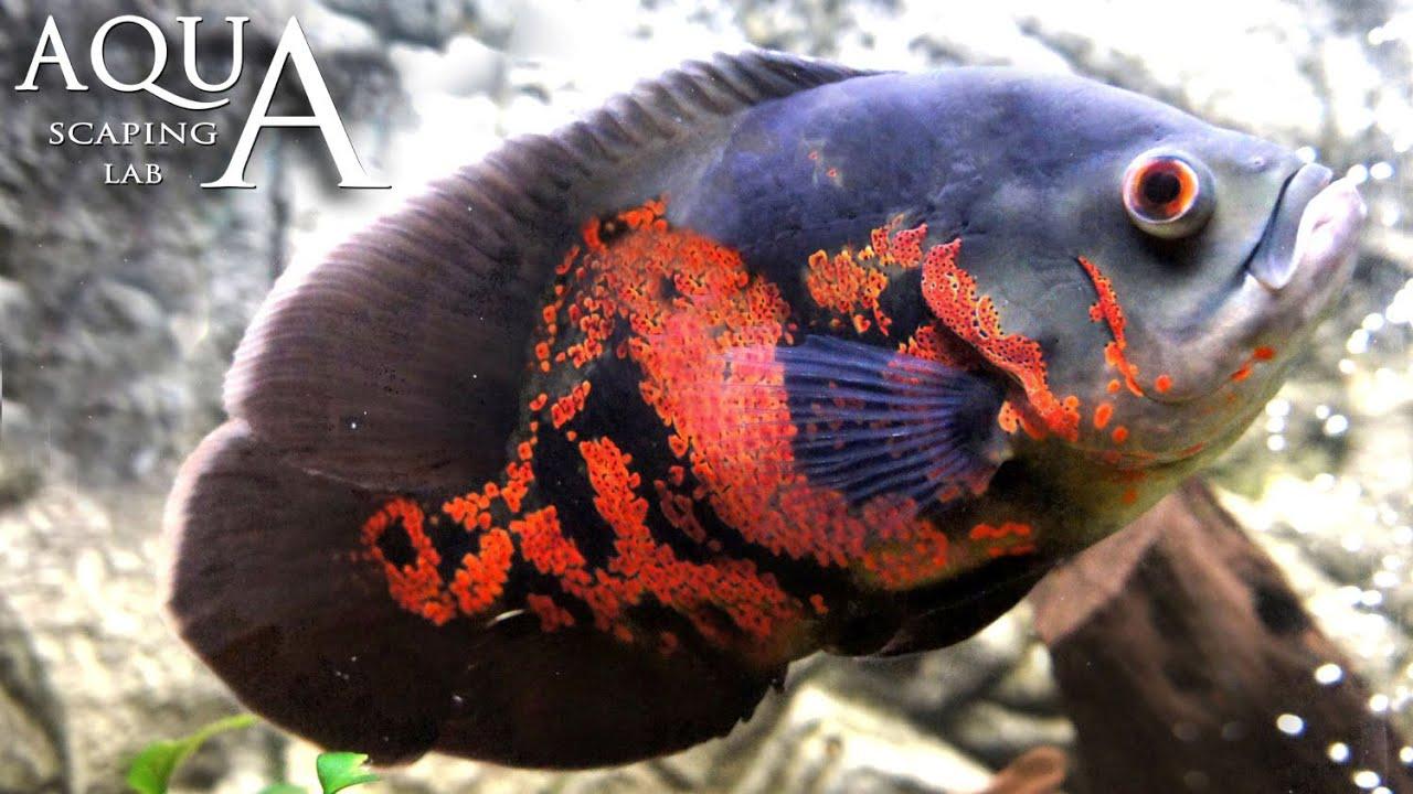 Aquascaping Lab - Oscar Fish, Astronotus Ocellatus, Marble Cichlid ...