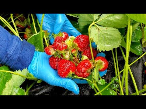 Chia sẻ cách chiết và chăm sóc dâu tây tươi tốt và được nhiều và to trái 🇨🇦798》 Vườn Rau Việt