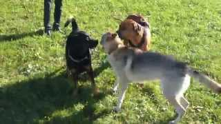 Rottweiler And Rhodesian Ridgeback Vs Wolf Hybrid