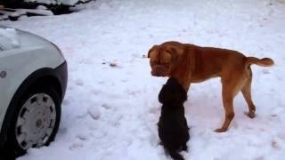 'dog Fight' Dogue De Bordeaux Mauls Cocker Spaniel