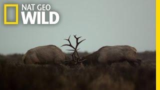 Yellowstone's Fiercest Five | Wild Yellowstone