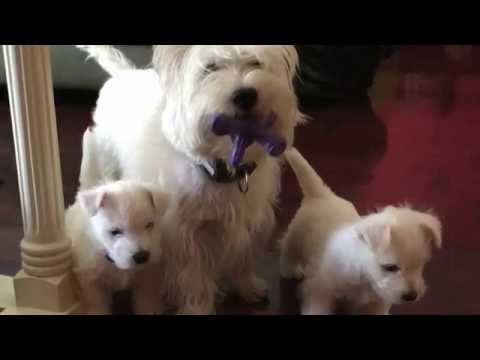 Adorable westie puppies and their mom