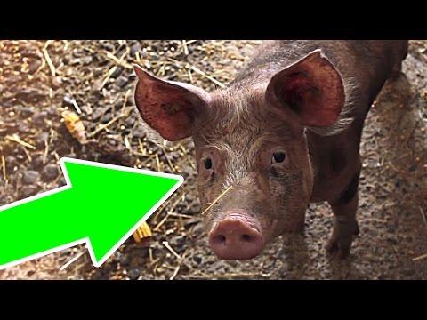 Почему арабы и евреи не едят свинину?