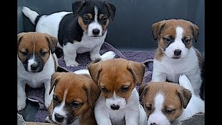 Funny Puppies And Cute Puppy Videos - Jack Russell terrier Puppies