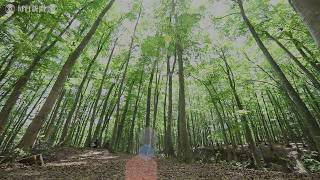 3000本のブナ すっくと「美人林」 新潟・十日町