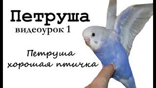 """🎤 Учим попугая по имени Петруша говорить, видеоурок 1: """"Петруша хорошая птичка"""""""