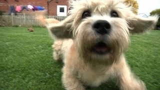 Video Dandie Dinmont Terriers - Bests of Breed download MP3, 3GP, MP4, WEBM, AVI, FLV November 2017