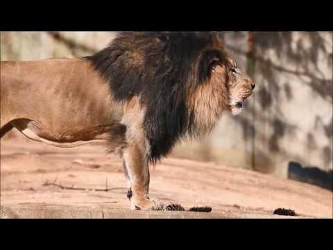 Black Maned Lion Roaring - YouTube