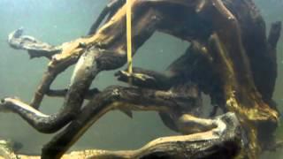 Freshwater Aquarium Setup (driftwood)