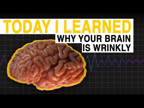 TIL: Why Your Brain is Wrinkly | Today I Learned