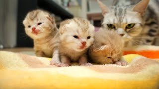 아기고양이 물고가는 엄마 고양이 Momma Cat Carries 3 Baby Kitten [SURI&NOEL] thumbnail