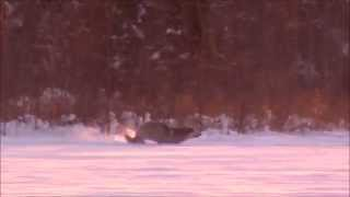 8 wolves and an 11 pointer, Upper Peninsula Michigan Firearm Season 2014