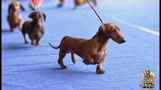 TOP #57: How to Get Started in Dog Shows