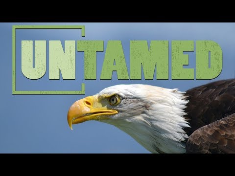 The Comeback Of Our National Bird, The Bald Eagle And The New Challenges They Now Face
