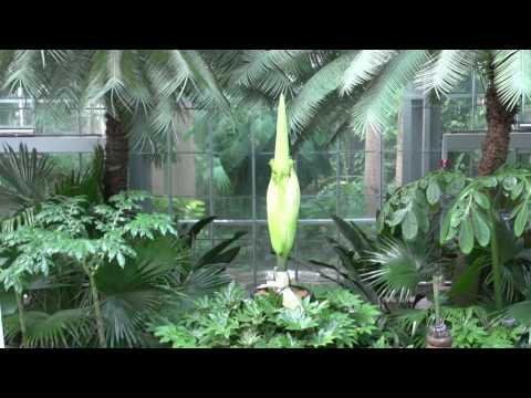 Archive - Corpse Flower at United States Botanic Garden Live Stream - July 28, 2016