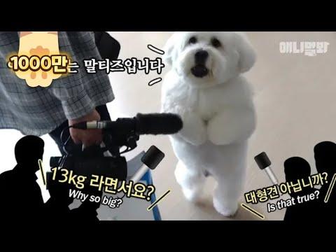 자기가 말티즈인 줄 아는 13kg 왕티즈ㅋㅋ ㅣ This Giant Dog Insists That He's A MalteseKaynak: YouTube · Süre: 4 dakika10 saniye