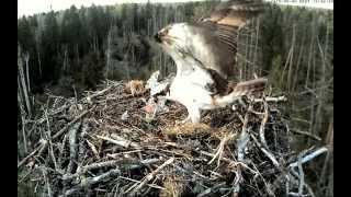 Скопа в гнезде на вершине высокой ели отложила первое яйцо в новом сезоне Эстония