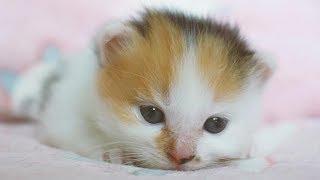 历时69天铲屎官用镜头记录下超萌的奶猫成长过程【小猫芋圆成长记|第二季第3话】【Growth Diary of the Kitten YuYuan/Day 69】
