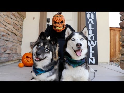 Halloween Prank On My Huskies! Fail!