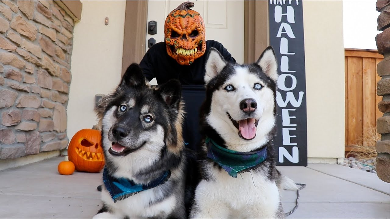 halloween prank on my huskies! fail! - youtube