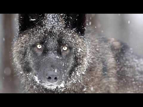 Вопрос: Живут ли волки в Японии в дикой природе?