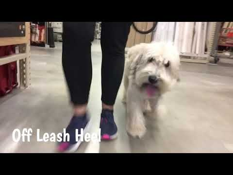 "5 Mo Old Wheaten Terrier ""Dakota""