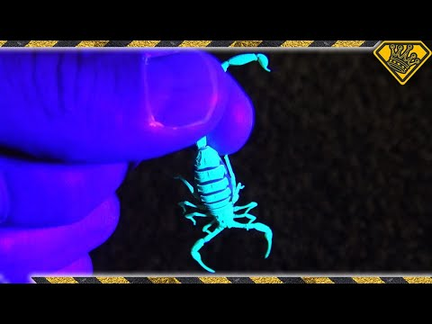 Do You Know Why This Scorpion Is Glowing?