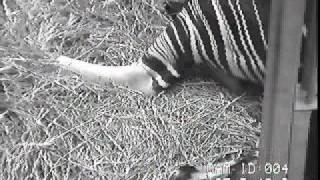 Okapi birth at Zoo Dvur Kralove - Part 1