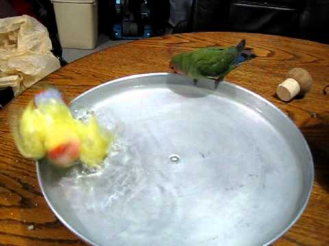 lovebirds taking a shower  panchito y nita,