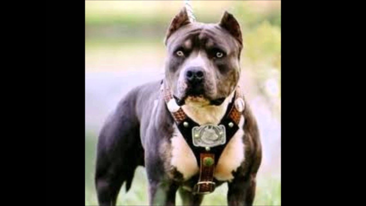 Os pit bulls mais bonitos do mundo (por mr caique) - YouTube