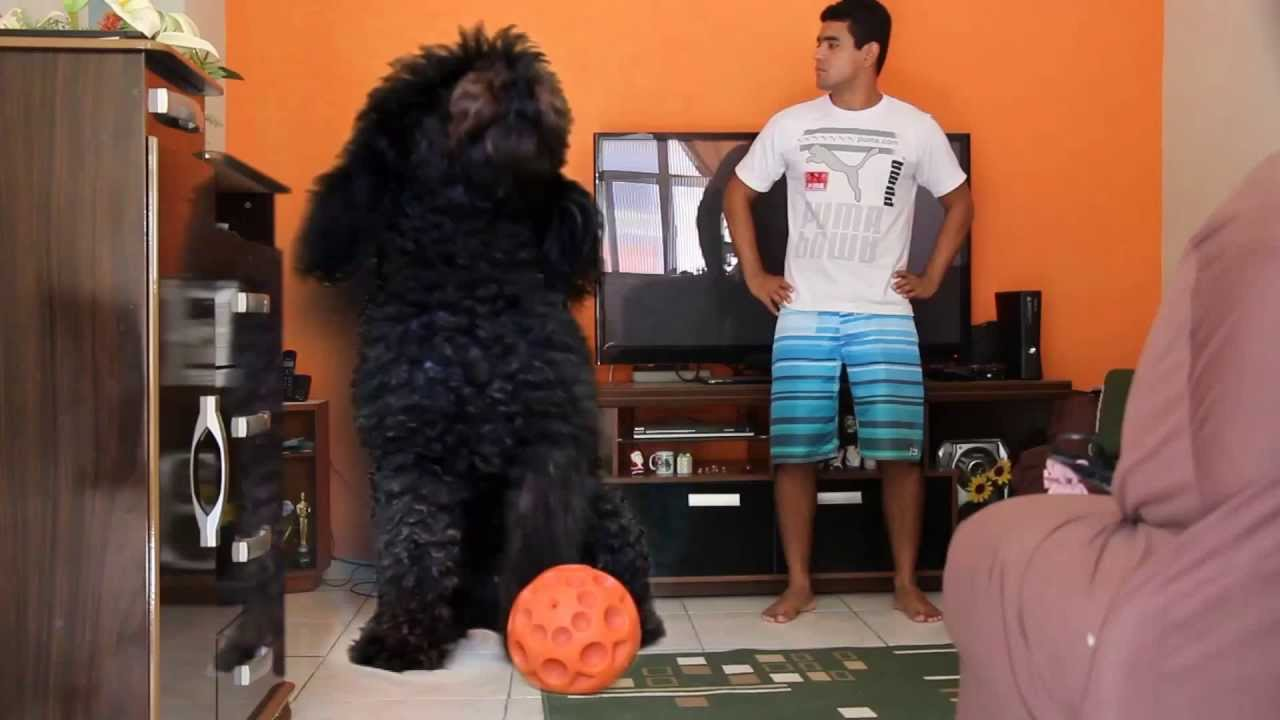 O Maior Poodle Do Mundo The Biggest Poodle Of The World