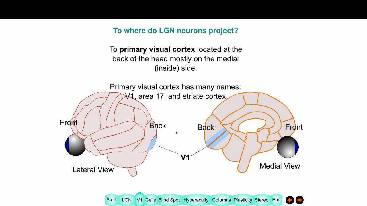 Visual Cortex Areas |Visual Cortex