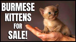 Burmese Kittens for Sale!