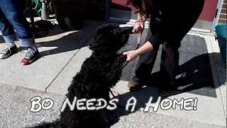 Great Dog Needs A Home - Berea Animal Rescue - Bo (beau) The Schnauzer Poodle Mix