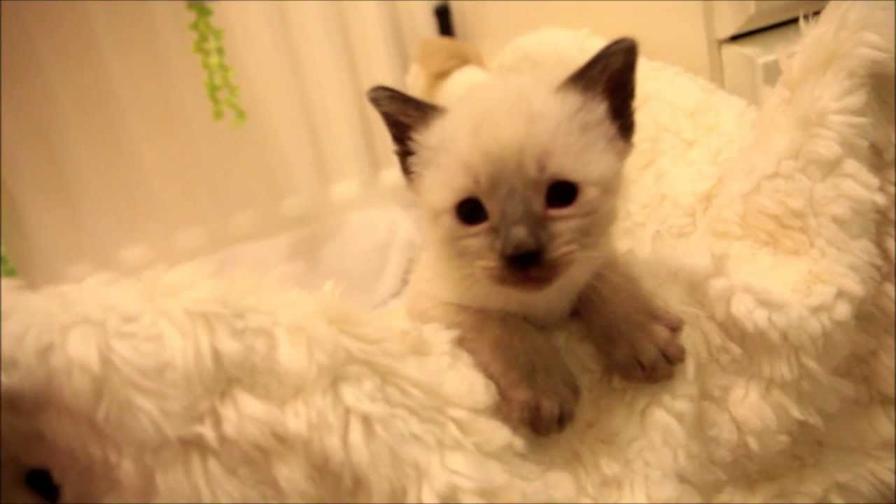 ♡ Cute Kittens Playing 5 Weeks Old Siamese ♡