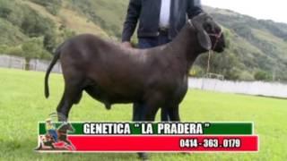 Perfil Agropecuario - Domingo 05-03-2017 Cabras de Canaguá