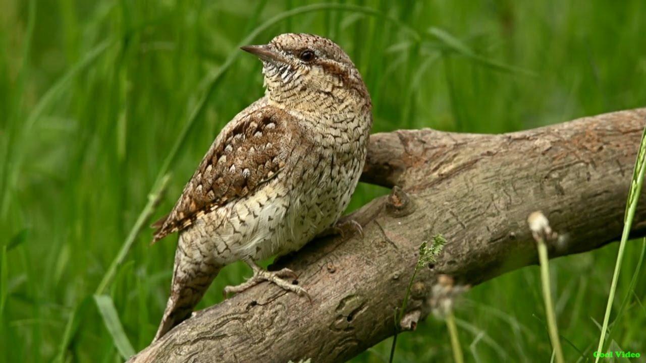 птица вертишейка фото