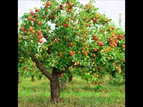 The Apple Tree (Easter Brothers)