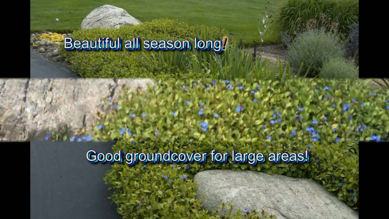deerproof plumbago  fast growing groundcover, Natural flower