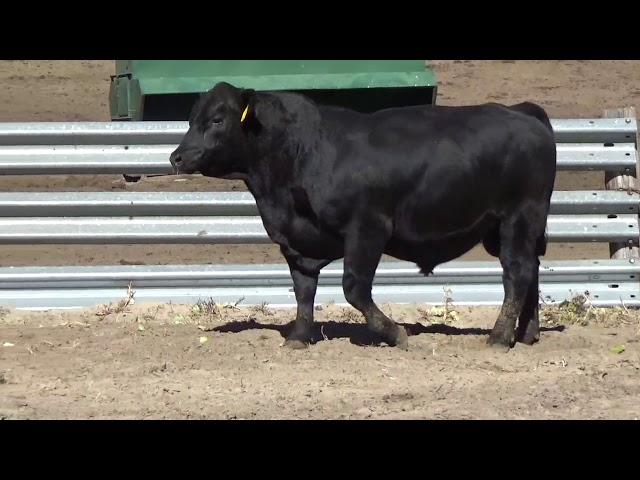 Connealy Angus Lot 161