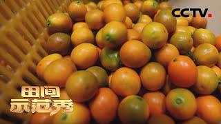 《田间示范秀》滑皮金桔的种植门道 20200326 | CCTV农业